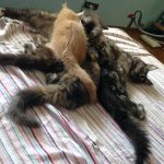 Leaena Main Coon Cattery - Mother and Kittens