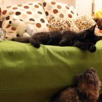 Leaena Main Coon Cattery - Cats