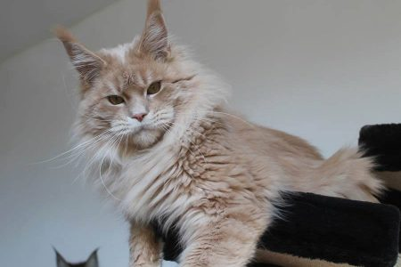 Leaena Main Coon Cattery - Cat 2012