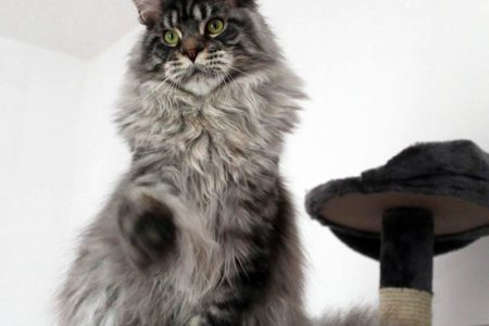 Leaena Main Coon Cattery - Cat 2013