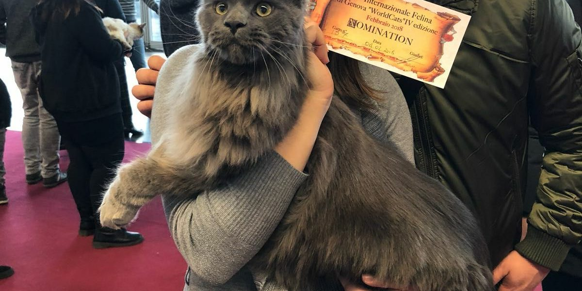 Leaena Main Coon Cattery - Cat 2017