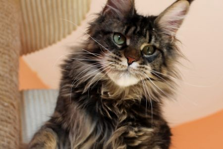 Leaena Main Coon Cattery - Cat 2019