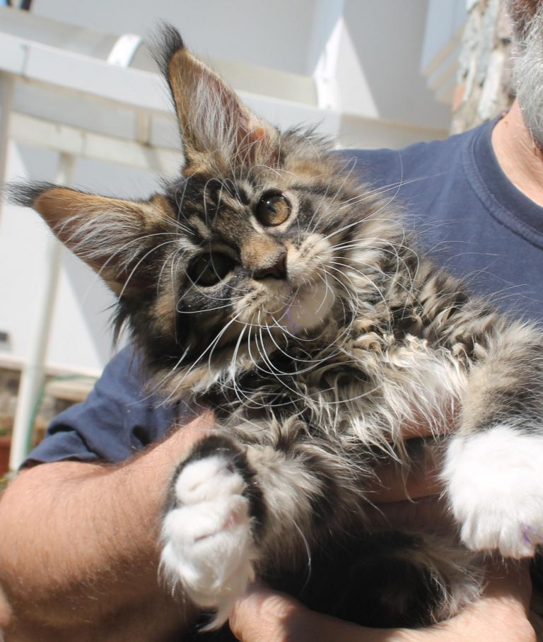 Leaena Main Coon Cattery - Cat Leaena Farah