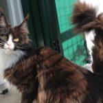 Leaena Main Coon Cattery - Cat Leaena Diabolika Bellissima 1