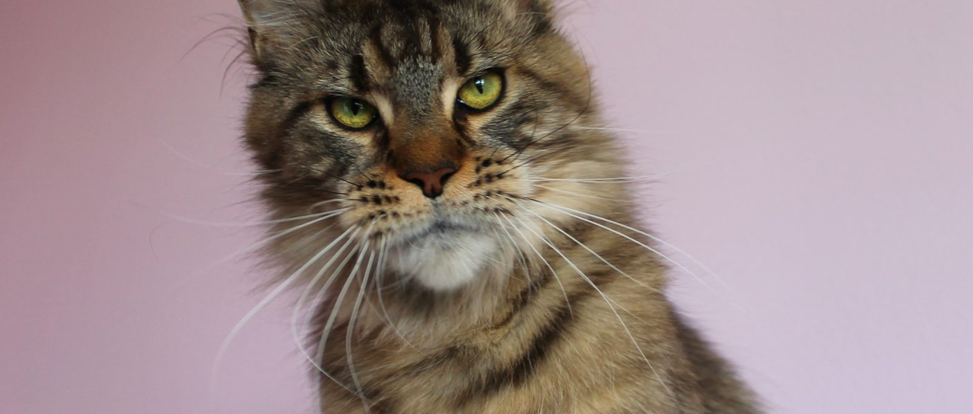 Leaena Main Coon Cattery - Cat Ludaa's Candies 1