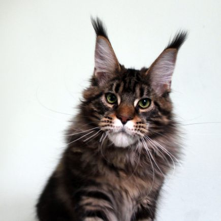 Leaena Main Coon Cattery - Cat Leaena Diesel 1