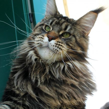Leaena Main Coon Cattery - Cat Leaena Diesel 2