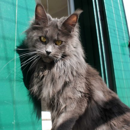 Leaena Main Coon Cattery - Cat Leaena Doha 1