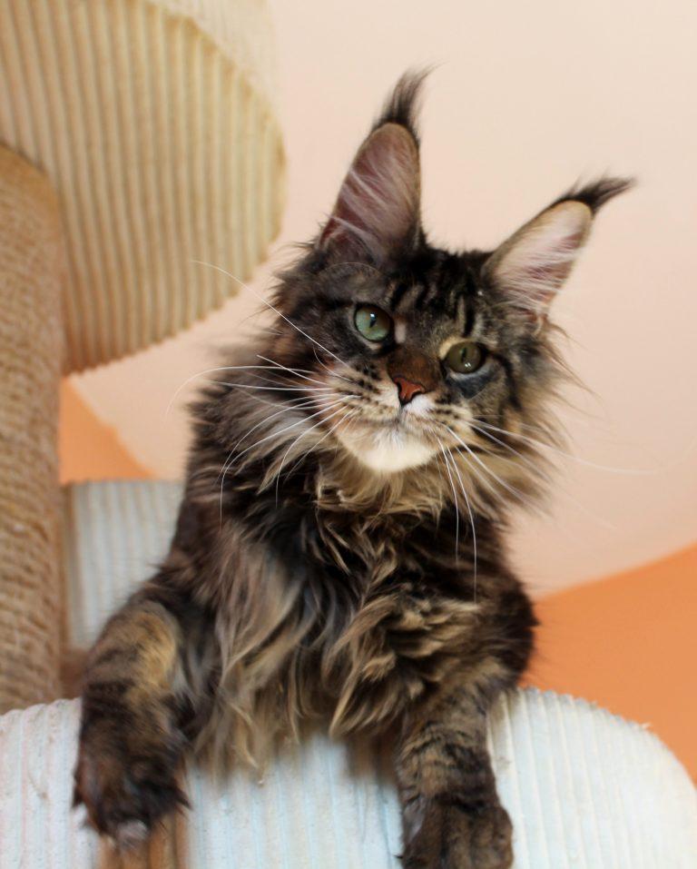 Leaena Main Coon Cattery - Cat Elizabeth Taylor 1