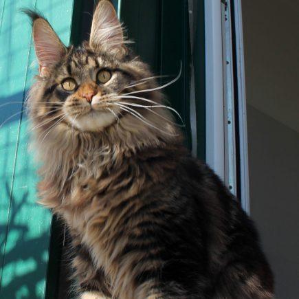 Leaena Main Coon Cattery - Cat Elizabeth Taylor 2