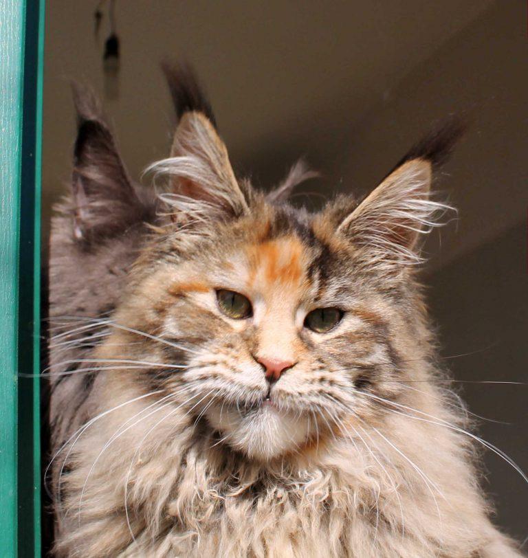 eaena Main Coon Cattery - Cat Flora D'el Cuetu 1