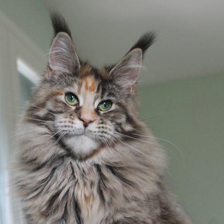 eaena Main Coon Cattery - Cat Flora D'el Cuetu 3