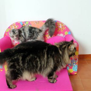 Leaena Main Coon Cattery - Cattery