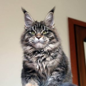 Leaena Main Coon Cattery - Cat
