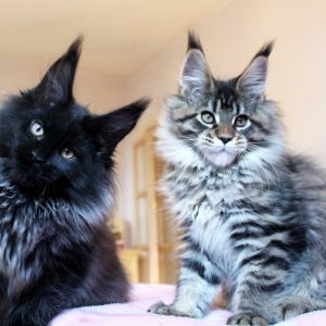 Leaena Main Coon Cattery - Kittens